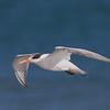 Elegant Tern in Flight at Drake's Beach