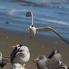 Elegant Tern, Drake's Beach