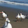 Three Elegant Terns at Drake's Beach (juvenile as orange legs)