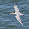 Elegant Tern at the Fish Docks