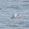 Elegant Tern Catches a Fish #4