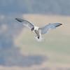 Elegant Tern Catches a Fish #1