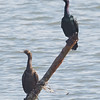 Pelagic Cormorant Pair