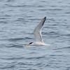 Elegant Tern Catches a Fish #6