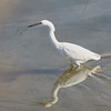 Snowy Egret Walking Through the Water