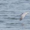 Elegant Tern Catches a Fish #5