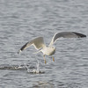 Ring-billed Gull with Fish #3