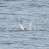 Elegant Tern Catches a Fish #2
