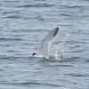 Elegant Tern Catches a Fish #3