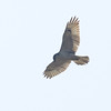 Ferruginous Hawk (light juvenile) Overhead