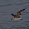 Western Gull (2nd cycle)