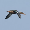 Female Northern Shoveler in Flight