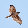 Ferruginous Hawk at Mendoza Ranch