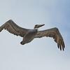 Brown Pelican Flying Overhead