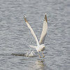 Ring-billed Gull with Fish #2