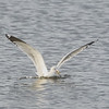 Ring-billed Gull with Fish #1