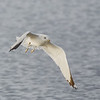 Ring-billed Gull with Fish #4