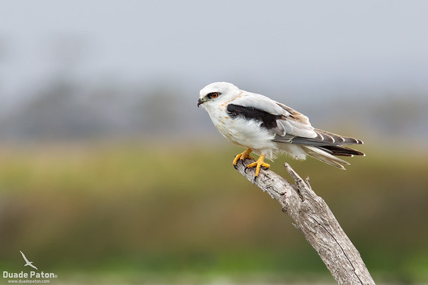 Black-shouldered Kite Juvenile