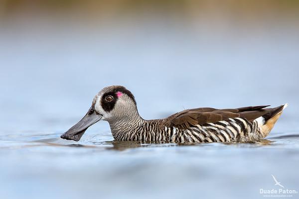 Pink-eared Duck