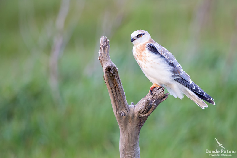 Black-shouldered kite - Juvenile