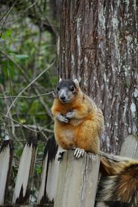 Fat orange squirrel