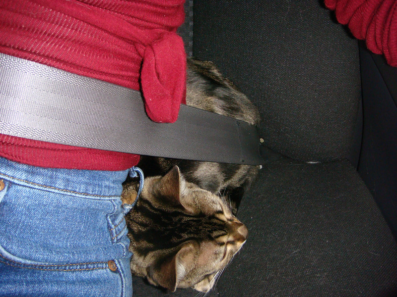 On the way to Alabama. Naneko all snug in my seatbelt . . .