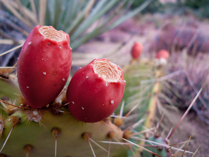 <em>Prickly Fruit</em> Caruther's Canyon, MNP Copyright 2008 Ken Walsh