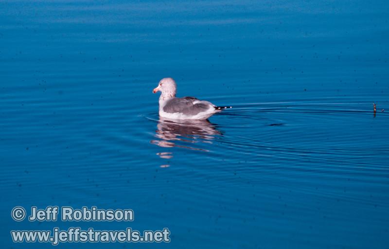 Gull swimming in the lake. (South Tufa, Mono Lake 2002)