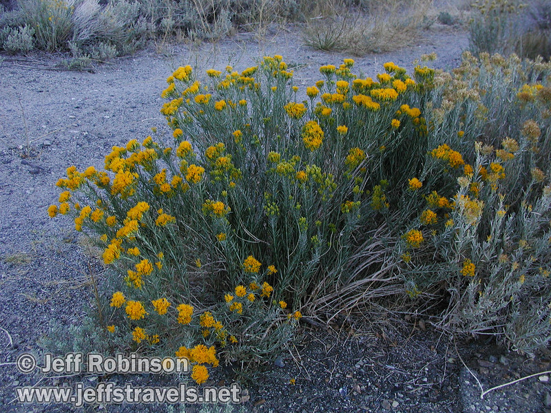 Yellow flowers on a brushy-type plant. Seen from near the parking lot by Picnic Shortcut Rd. a bit NW of the visitor center. (Mono Lake 2002)
