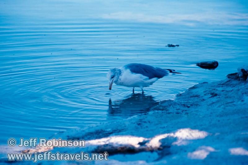 Gull feeding in the edge of the lake. (South Tufa, Mono Lake 2002)