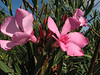 the flowers of Nerium oleander (North Morocco 2009)