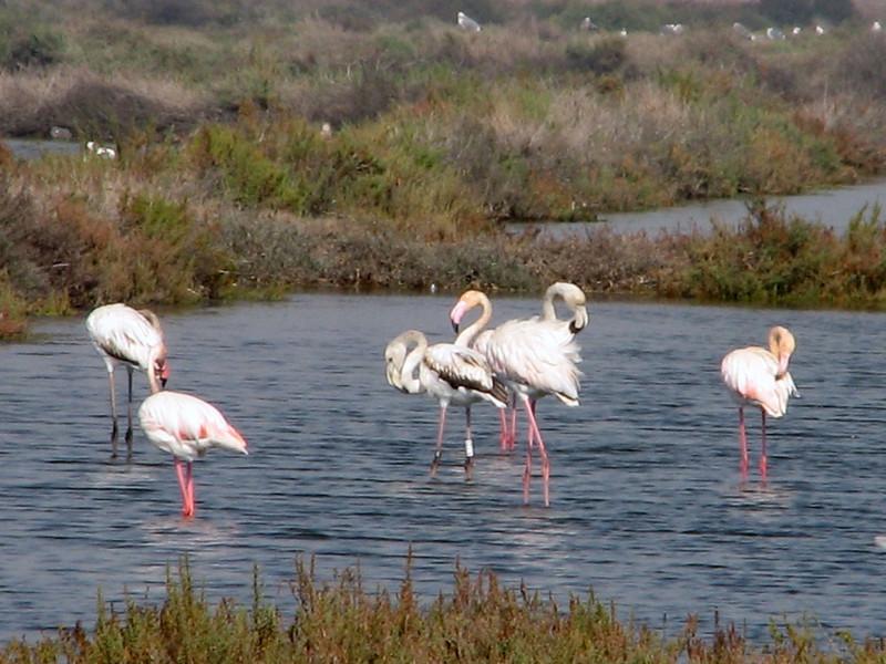 Phoenicopterus ruber (NL:roze flamingo) (North Morocco 2009)