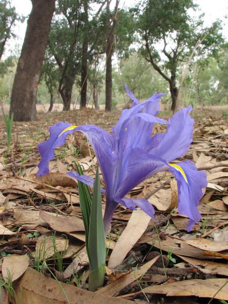 Iris planifolia (North Morocco 2009)