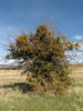 Viscum cruciatum (Mistletoe) on Crataegus spec. (North Morocco 2009)