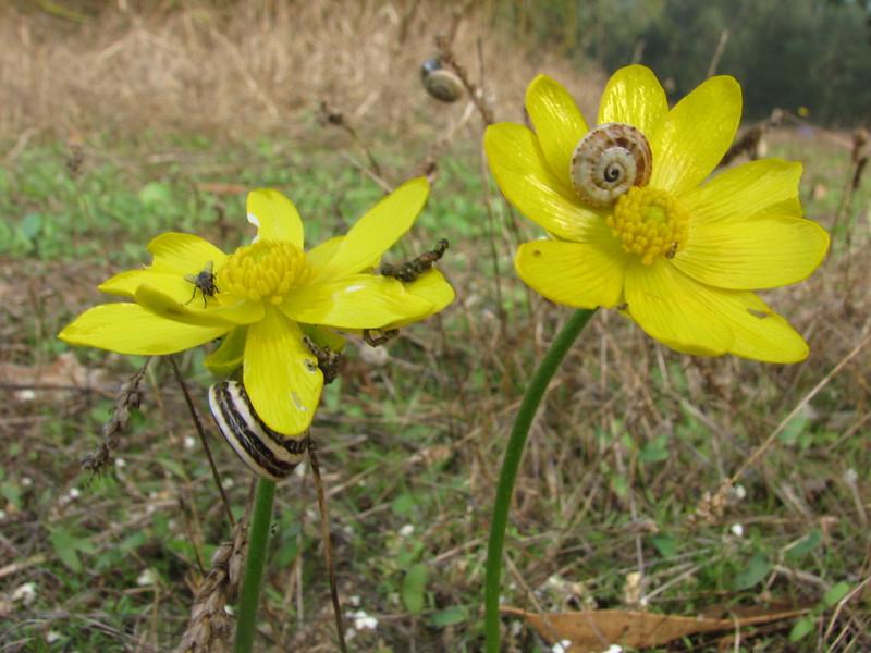 Ranunculus bullatus (North Morocco 2009)