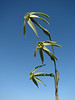 Narcissus viridiflorus (North Morocco 2009)