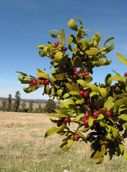 the red berries of Viscum cruciatum (Mistletoe) (North Morocco 2009)