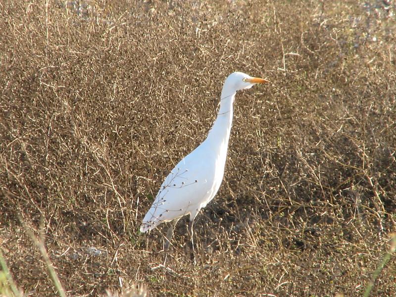 Bubulcus ibis, Cattle Egret (NL:koereiger) (North Morocco 2009)