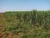 plantage of sugarcane (North Morocco 2009)