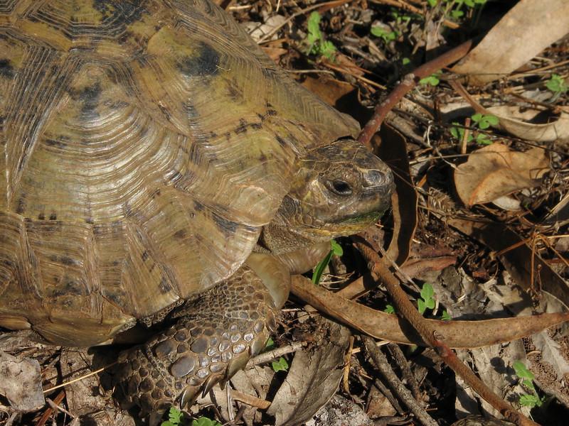 Testudo graeca, Spur-thighed Tortoise,(NL: Moorse landschildpad) (North Morocco 2009)