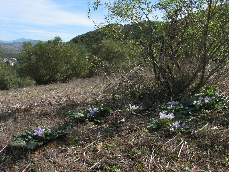 habitat of Mandragora autumnalis (North Morocco 2009)