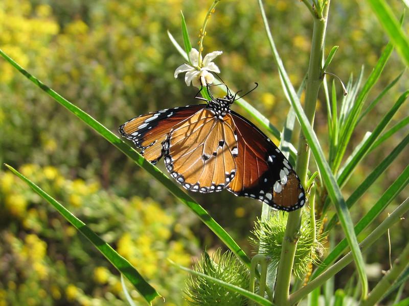 Danaus chrysippus (NL: kleine monarch)(Plain Tiger) on Gomphocarpus fruticosus (North Morocco 2009)