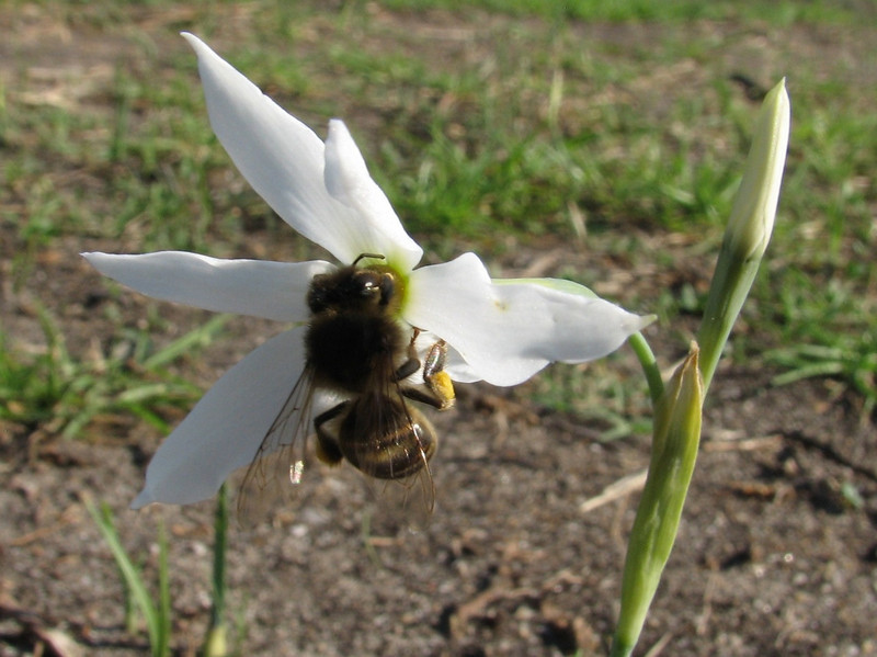honeybee on Narcissus elegans (North Morocco 2009)