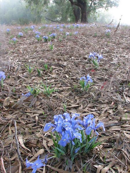 habitat of Iris planifolia (North Morocco 2009)