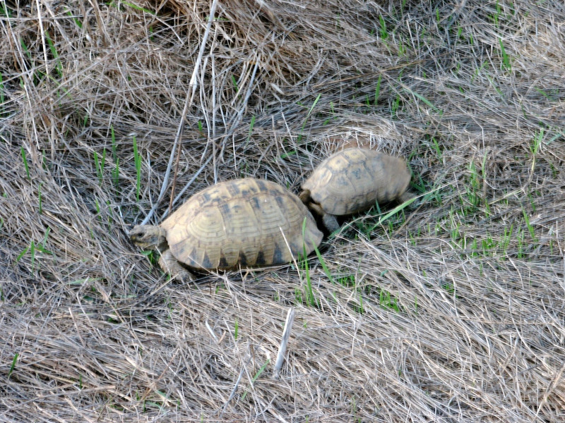 Testudo graeca, Spur-thighed Tortoise,(NL: Moorse landschildpad) prepairing to mate (North Morocco 2009)