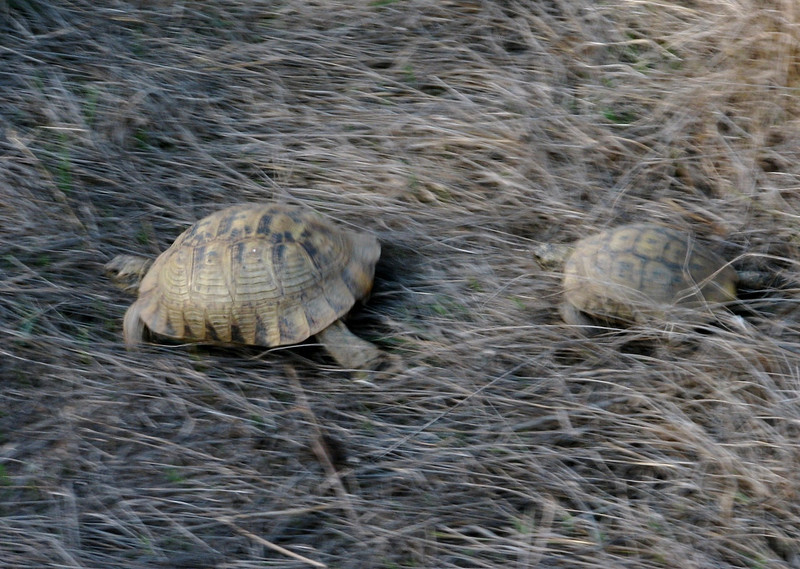 Testudo graeca, Spur-thighed Tortoise,(NL: Moorse landschildpad) prepairing to mate (North Morocco 2009)