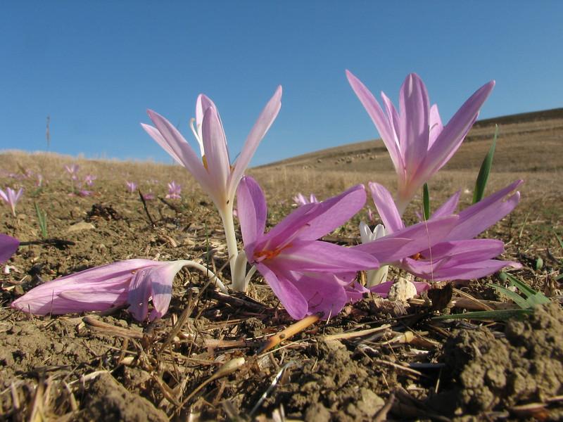 Colchicum lusitanicum (North Morocco 2009)
