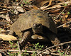 Testudo graeca, Spur-thighed Tortoise,(NL: Moorse landschildpad) (North Morocco 2009)