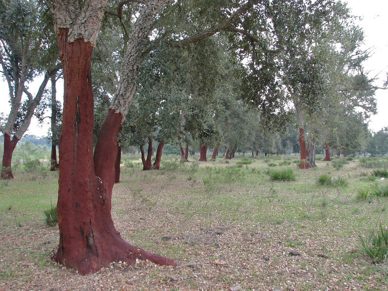 peeled trunks of Quercus suber,  (North Morocco 2009)