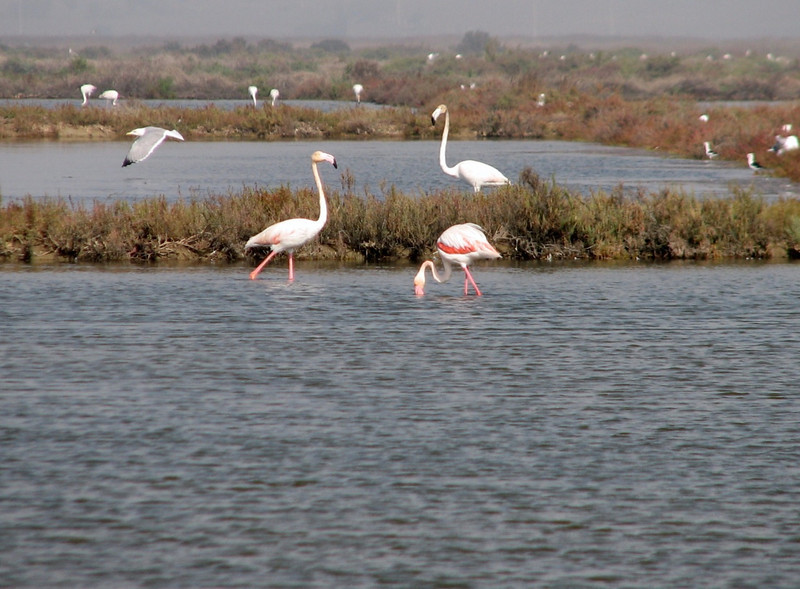 Phoenicopterus ruber (NL:roze flamingo)  Salt lake near Larache (North Morocco 2009)